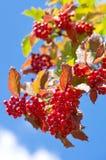 Red berries viburnum. Stock Photo