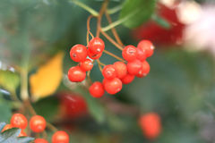 Red berries of viburnum. Close up of the viburnum cluster Royalty Free Stock Photos