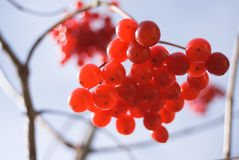 Red berries of Viburnum (arrow wood) Stock Image