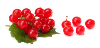 Red berries of Viburnum arrow wood with green leaf isolated on white background Royalty Free Stock Image