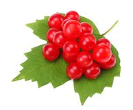 Red berries of Viburnum arrow wood with green leaf isolated on white background Royalty Free Stock Photos
