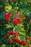 Berries of the viburnum on branch Stock Photo
