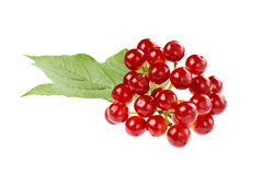 Red berries of viburnum on a branch with leaves isolated Royalty Free Stock Images