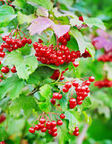 Red berries of viburnum on a branch Stock Image