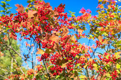Red berries of viburnum on branches on blue sky Stock Image