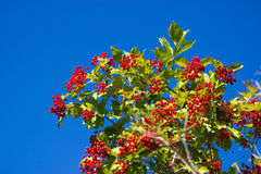 Red berries on a viburnum bush Royalty Free Stock Photo