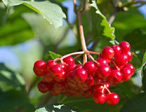 Red berries on a viburnum bush Stock Images