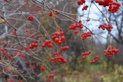 Red berries of viburnum bush in autumn overcast day. Bright colors of fall season.  royalty free stock images