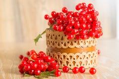 Red berries of viburnum Stock Photos