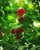 Red berries of viburnum on green leaves background Royalty Free Stock Image