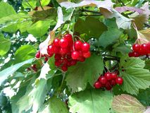 Red berries of viburnum on green leaves background Stock Photo