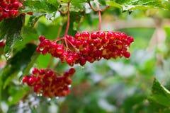 Red Berries of Viburnum (Guelder rose) in garden. Bunch of Red Berries of Viburnum (Guelder rose) in garden after rain, soft focus Stock Photo