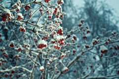 Red berries of viburnum with hoarfrost Royalty Free Stock Images