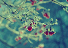 Red berries of viburnum with hoarfrost Royalty Free Stock Photography