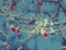 Red berries of viburnum with hoarfrost Royalty Free Stock Photos