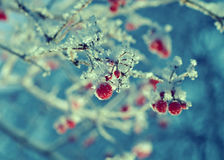 Red berries of viburnum with hoarfrost Stock Images