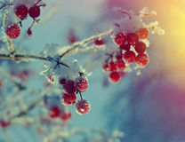 Red berries. Of viburnum with hoarfrost on the branches . closeup Royalty Free Stock Images