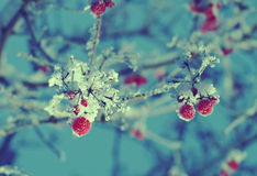 Red berries of viburnum with hoarfrost Royalty Free Stock Photo