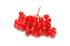 Red berries of viburnum Stock Photography