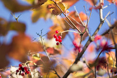 Red berries of Viburnum Royalty Free Stock Photos