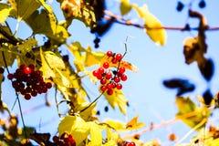 Red berries of Viburnum royalty free stock photos