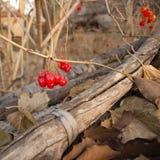 Red berries, Viburnum opulus Royalty Free Stock Photo