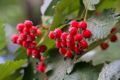 Red berries of viburnum in the rain Royalty Free Stock Images