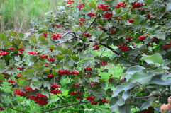 Red berries of viburnum. Are ripe on the tree stock photo