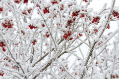 Red berries of Viburnum in the snow Royalty Free Stock Photo