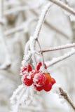Red berries of Viburnum Stock Photography