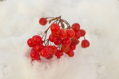 Red berries of viburnum on snow Stock Image