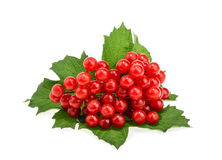 Red berries of Viburnum (arrow wood), isolated on white Royalty Free Stock Photos