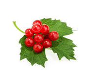 Red berries of Viburnum (arrow wood), isolated on white Stock Image