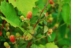 Red berries on the vine Royalty Free Stock Photography