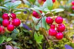 Red berries of wild cowberry closeup Stock Photos
