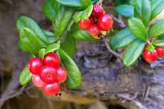 Red berries of wild cowberry closeup Stock Photography