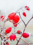 Red berries of wild rose with hoarfrost Royalty Free Stock Photography