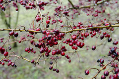 Red berries in winter Stock Image