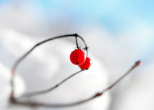 Red berries in winter Royalty Free Stock Photography