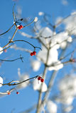 Red berries in winter Stock Photography