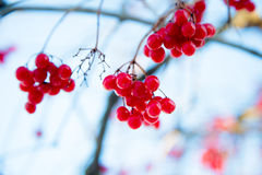 Red berries. In winter on blue sky background Royalty Free Stock Image