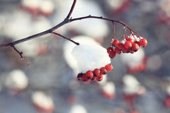 Red berries in winter forest Stock Photo