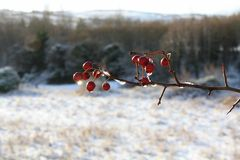 Red Berries. Winter Red Berries after snow thaw Stock Image