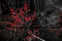 Red berries in the woods in the winter Stock Photography