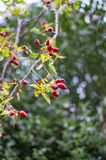 Red berries on yellowish branches with leaves. On tree in jungle royalty free stock photography