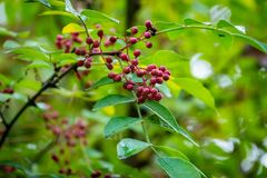 Red berries of Zanthoxylum americanum, Prickly ash a spiny tree with prickly branches. Close-up in natural sunligh. Nature concept for design stock images