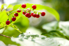 The red berry Royalty Free Stock Photography