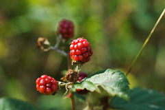 Red berry Royalty Free Stock Photo