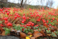 Red berry Stock Photo