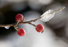 Red berry against a ice crystals. Close-up of red berry on twig in front of ice crystals royalty free stock images